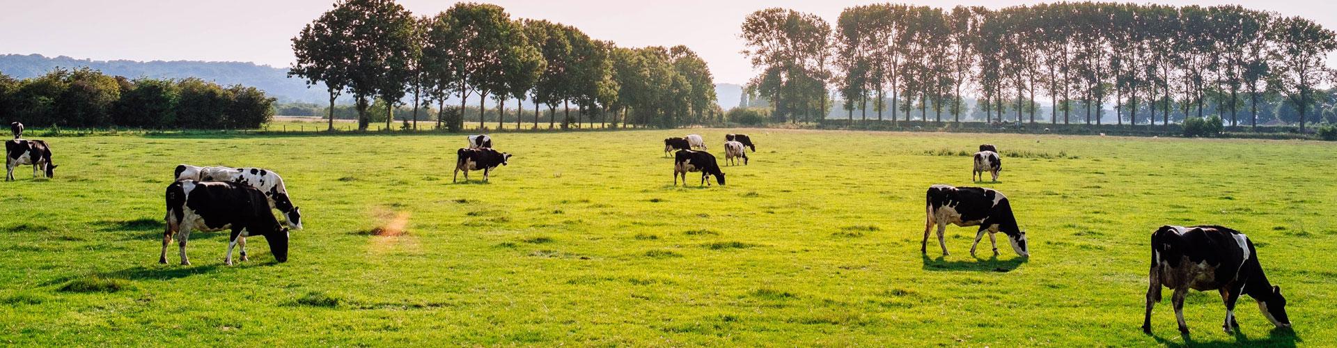 Slider pastos vacas
