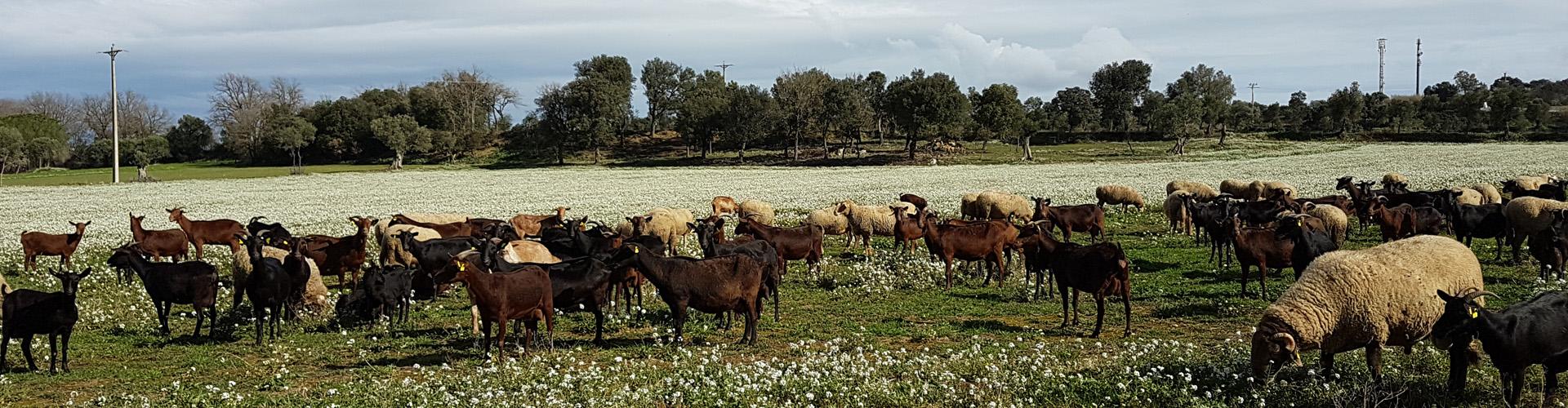slider cabras campo